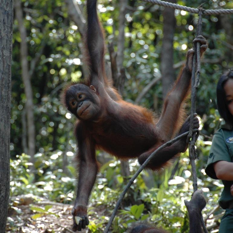 at the nature reserve for orangutans, Rasa Ria Resort, Kota Kinabaru, Malaysia